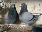 肉鸽养殖基地种鸽的价格