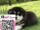 重庆阿拉斯加交易吧 重庆阿拉斯加狗市场 重庆阿拉斯加买狗网