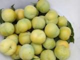 四川供应蜂糖李树苗,宜宾有卖蜂糖李子苗,哪里有嫁接蜂糖李子苗