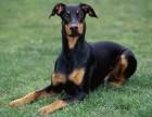 上海精品杜高幼犬、高端赛级大骨量双血、包活、带证书