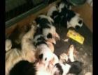 边境牧羊犬宝宝价格优惠,血统纯正,一针疫苗一次驱虫