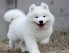 萌萌哒微笑天使纯种萨摩耶幼犬疫苗做齐品相好