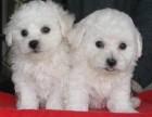 天津出售纯种比熊幼犬活体比熊呆萌比熊双血统比熊