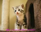 保定哪里有美短猫虎斑加白卖 纯血统 萌翻你的眼球 品质保障