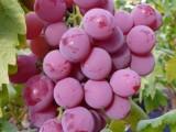 红巴拉多葡萄苗,夏黑葡萄苗,金手指葡萄苗,玫瑰香葡萄苗