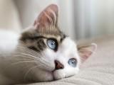 北京出售英短美短藍貓藍白 漸層 送貓咪上門誠信
