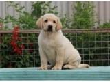 武汉黑色拉布拉多出售 武汉家养拉布拉多犬 健康拉布拉多出售