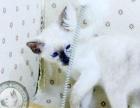 茉娜家暹罗猫咪 海豹玳瑁色2个月妹妹