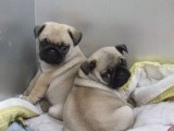 北京最大狗场 特价直销世界名犬 巴哥犬等品种三百起