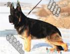 哪里可以买到健康的德国牧羊犬黑背可以签协议的那种