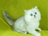 重庆城口双血统金吉拉幼猫优惠出售