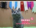 帅气的大头英短蓝猫小帅哥--《思晴名猫坊》