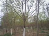 常德50公分法桐树基地自产自销