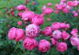 丰花月季行情_东骏花卉提供优质的园林植物