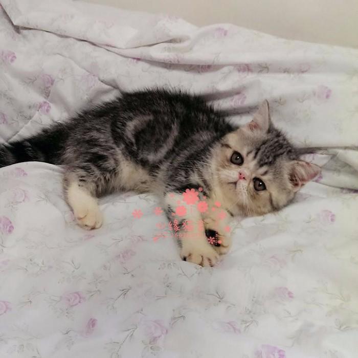 兰州加菲猫多少钱 兰州哪里出售的加菲猫幼犬价格较便宜
