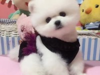 博美多少钱一只 哪里有卖博美犬 苏州出售博美犬