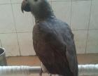 最新灰鹦鹉价格多少钱,灰鹦鹉哪里有