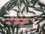 福建罗非鱼苗-专业的鱼苗市场价格