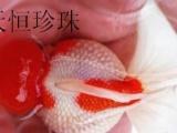 观赏鱼厂家直销批发(金鱼,锦鲤,红草金)