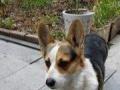 相伴6年的柯基犬丢失,急盼回家