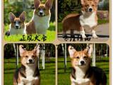 犬舍繁殖高品质柯基犬幼犬 包健康可视频挑选可上门