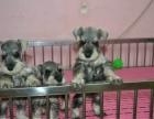狗场出售纯种迷你椒盐色雪纳瑞幼犬/雪纳瑞狗狗