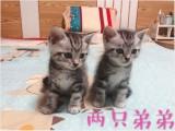 北京自家繁育美短虎斑两个月幼猫