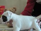 诚信交易、纯种牛头梗、健康终身保障、签协议送狗用品