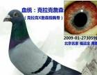 出售北京名家种鸽