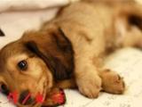 专业繁殖赛季血统腊肠犬 公母均有 防疫已做