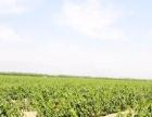 青铜峡邵岗镇马连沟风力发电站场旁酿酒葡萄土地30亩