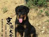鞍山市京润犬舍繁殖可来基地看狗出售超可爱的黑色罗威纳幼犬