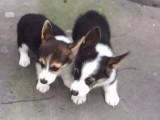 官方保障 犬舍繁殖纯种柯基 包纯种健康养活送货上门