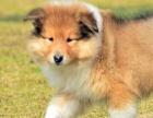 纯种的苏格兰牧羊犬多少钱 宠物店的狗靠谱吗