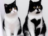 大理出售自家繁殖纯种美国短毛猫 美短起司保健康