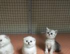 苏格兰折耳猫长期出售美短 英短 布偶 金吉拉 加菲猫
