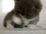 自家猫舍繁殖出售 波斯猫 签正规协议 可刷卡可送货