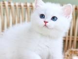 英短银渐层金渐层猫宠物小猫咪活物活体幼崽