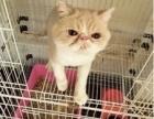 红白加菲猫,公猫,特价