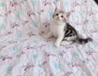 出售纯种家养美短猫 疫苗齐包健康 全国包邮