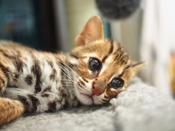 石家庄哪里有孟加拉豹猫卖 野性外表温柔家猫性格 时尚 漂亮