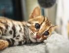 宁波哪里有孟加拉豹猫卖 野性外表温柔家猫性格 时尚 漂亮