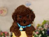 里出售泰迪犬 泰迪犬里出售