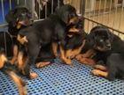 出售纯种罗威纳犬 罗威纳幼犬 品相好 血统纯