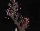 批发梅花盆景骨里红梅花盆栽花卉