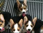 上海哪里有卖柯基犬上海柯基犬多少钱上海柯基犬好养吗上海柯基犬
