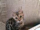 特价孟加拉豹猫四个半月dd