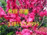 苏州苗木花木基地 苏州桂花树价格 造型树,别墅庭院绿化苗木