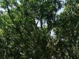 公园水葡萄,园林绿化,规格齐全,福建苗木基地直销,大量批发
