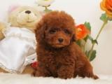 中山 纯种泰迪幼犬出售,品相好疫苗驱虫做完,包纯种健康